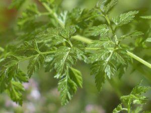 Chervil herb image