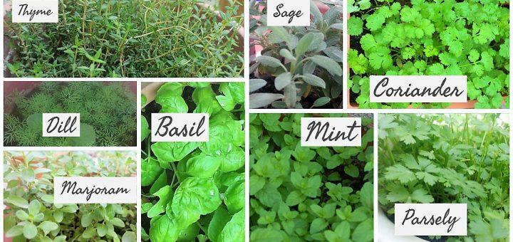 Herbs from my garden